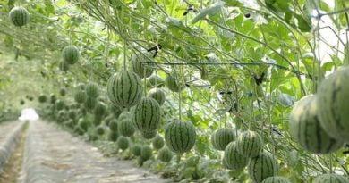 Fruta më të bukura se këto vështirë keni parë! (FOTO)