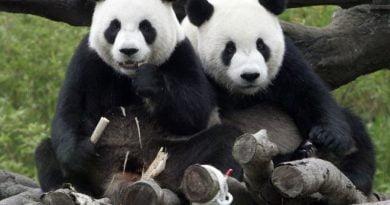 Pandat identifikojnë gjininë e kundërt vetëm me zë në distanca deri 20 metra