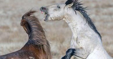 Lufta dramatike mes dy kuajve të egër, në fund fiton vetëm njëri (FOTO)