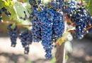 Ndihma për pagesën e rrushit të shitur për verë do të zbatohet edhe për gjashtë lloje të tjera