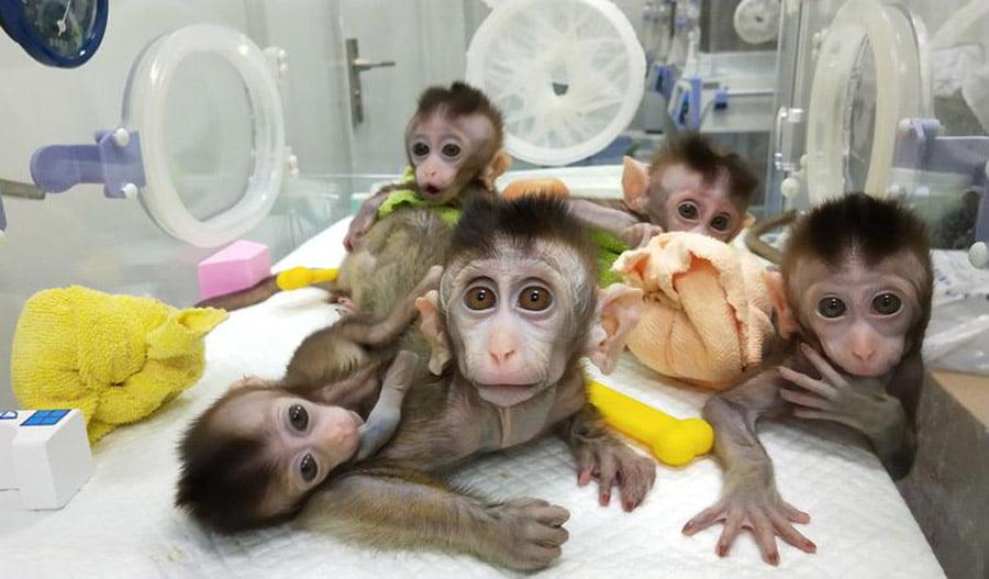 shkencetaret-kineze-modifikojne-majmune-inteligjente-me-gjene-njeriu