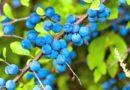 Kulumbria përmban efekte shëruese për pastrimin e gjakut